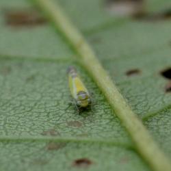 cicade Lindbergina aurovitatta