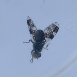 Donkere melkdistelboorvlieg