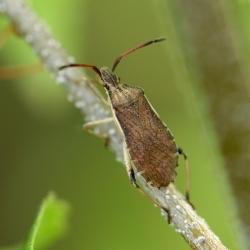 Ceraleptus lividus oogstreeprandwants