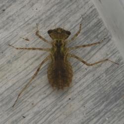 bruinrode heidelibel larve