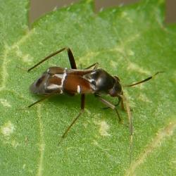 Pilophorus perplexus