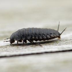 Aaskever larve