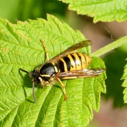 wesp vespula vulgaris koningin