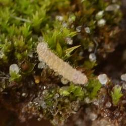 wesp larve