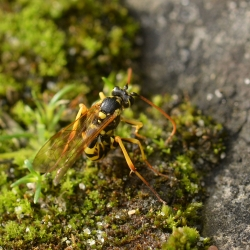 wesp larven eieggend