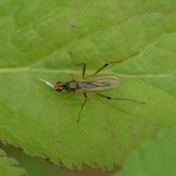 Steltvliegen, Spillebeenvliegen - Micropezidae