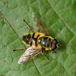 doodskopzweefvlieg