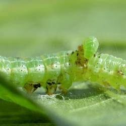 rups met larve Eulophus soort