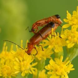 kleine rode weekschildkevers