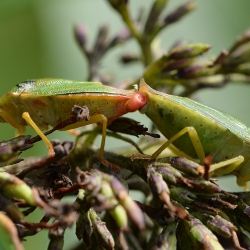 groene schildwantsen copula