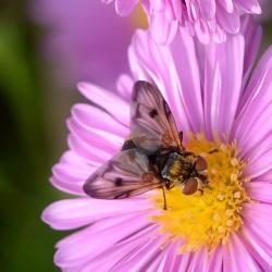 sluipvlieg Ectophasia crassipennis